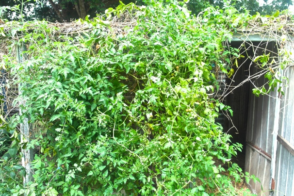 The rogue cherry tomato bush that is now providing us with a heap of cherry tomatoes every day