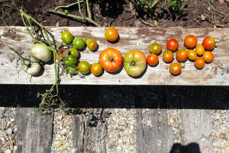 I am a virtual Mother Teresa of the tomato world